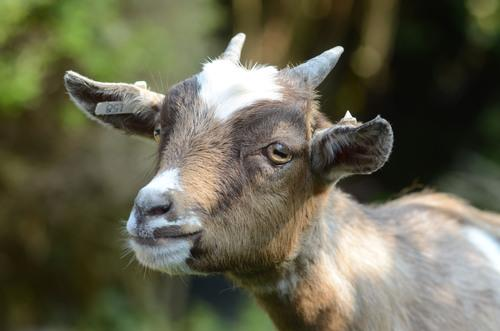 Willow the pygmy goat is recovering after the attack