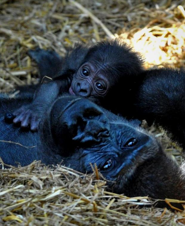 VIDEO Baby gorilla born at Chessington zoo