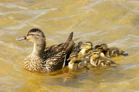 Quackers: Park managers stressed the importance of animal safety
